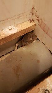 Mały szczur w lokalu gastronomicznym